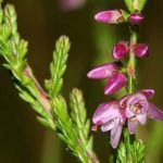 Flores de Bach Heather