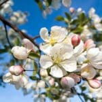 Flores de Bach Crab Apple